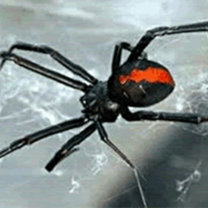 better-homes-supplies-image-red-back-spider